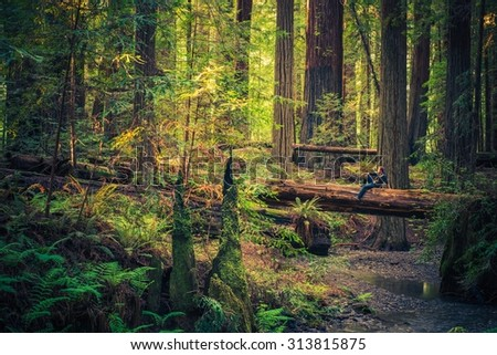 Tourist Resting on the Redwood Fallen Tree and Enjoying Redwood Forest Scenery During Sunset. - stock photo