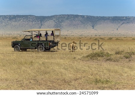 tourists watching male lion while he crossing the road just few steps from behind of their car - stock photo