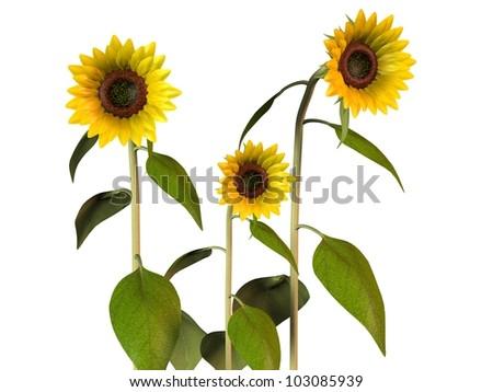 Tournesols sunflower - stock photo