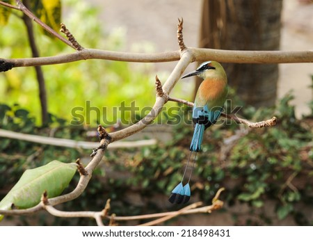 Tourquoise-browed motmot, the national bird of Nicaragua, rest in an almond tree - stock photo