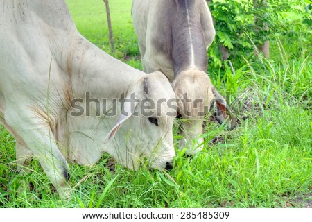 Tow Brahman bulls eating grass at the side of a country road - stock photo