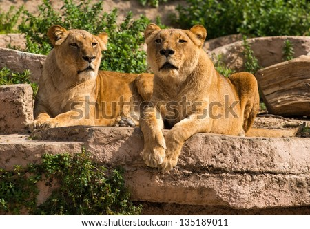 Tow gorgeous lioness in natural habitat - stock photo