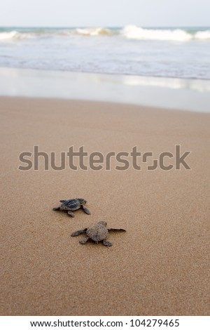 Toward the ocean. Newly hatched baby turtles in a hurry in the watery element - stock photo