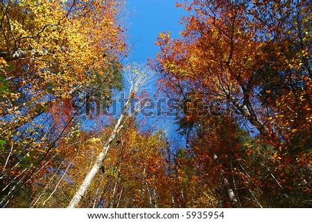 Towering Trees - stock photo