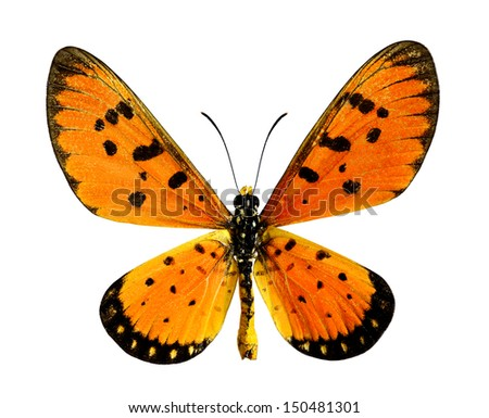 Towny coster (Acraea violae) upper wings profile in natural color isolated on white background - stock photo