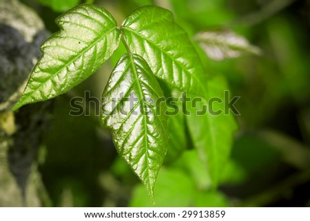 Toxicodendron radicans poison ivy macro - stock photo