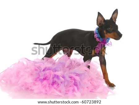 toy manchester terrier puppy among pink feathers on white background - stock photo