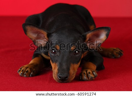 toy manchester terrier puppy laying down on red background - stock photo