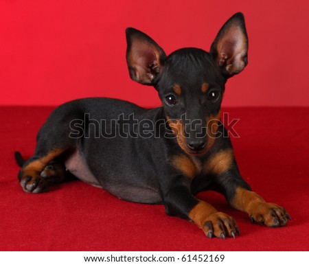 toy manchester terrier puppy laying down on red blanket with red background - stock photo