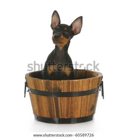toy manchester terrier puppy sitting in a wooden bucket with reflection on white background