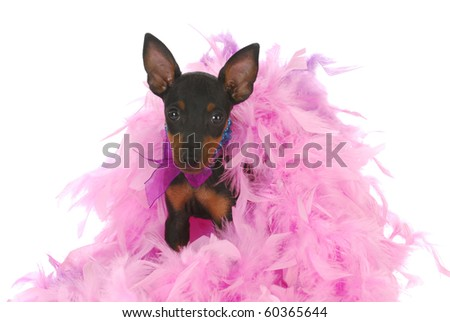 toy manchester terrier puppy sitting in pink feathers on white background - stock photo
