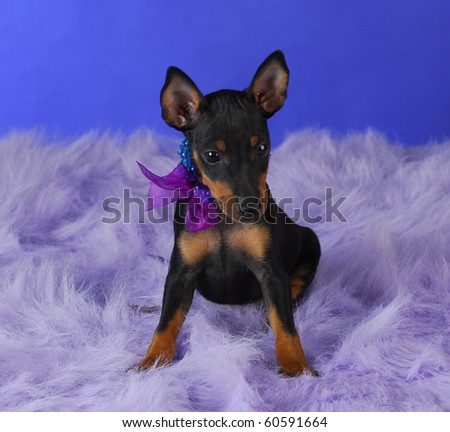 toy manchester terrier puppy sitting on fluffy blanket with blue background - stock photo