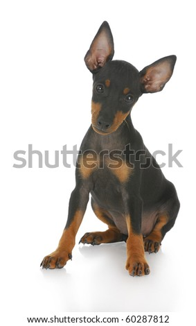 toy manchester terrier puppy sitting with reflection on white background