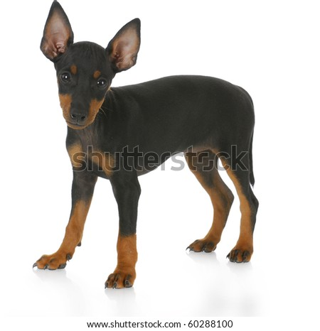 toy manchester terrier puppy standing with reflection on white background - eight weeks old - stock photo