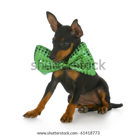 toy manchester terrier puppy wearing large green bowtie with reflection on white background - stock photo