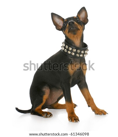 toy manchester terrier puppy wearing leather studded collar looking up with reflection on white background