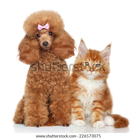 Toy poodle and MaineCoon kitten on white background - stock photo