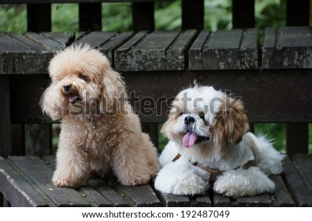 toy poodle and shih tzu