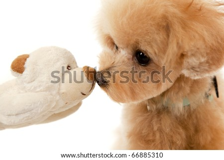 toy poodle and toy bear - stock photo