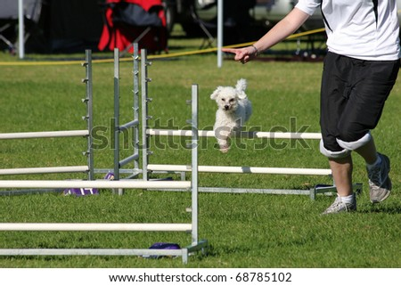 Toy poodle dog coming over an agility jump - stock photo