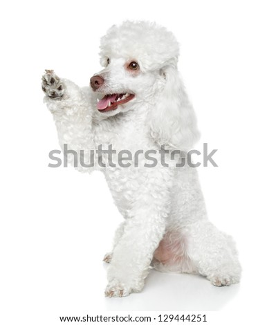 Toy Poodle gives that a paw on white background - stock photo