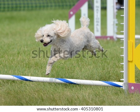 Toy Poodle Leaping Over a Jump at an Agility Trial - stock photo