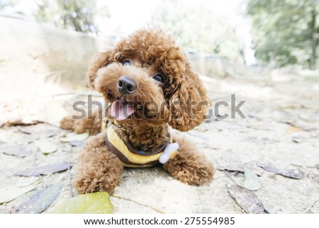 Toy Poodle lying on concrete floor at the park - stock photo