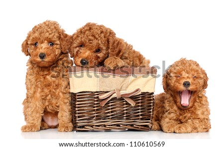 Toy poodle puppies resting on a white background - stock photo