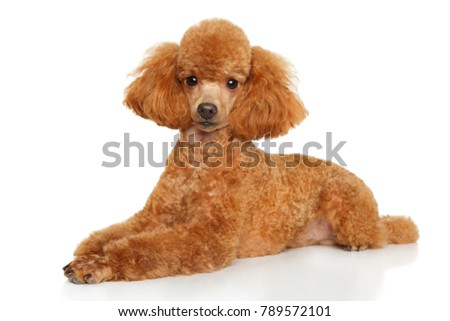 Toy poodle puppy graceful lying down on a white background