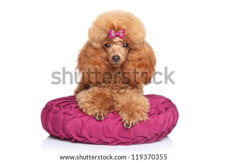Toy Poodle puppy lying on pillow on a white background - stock photo