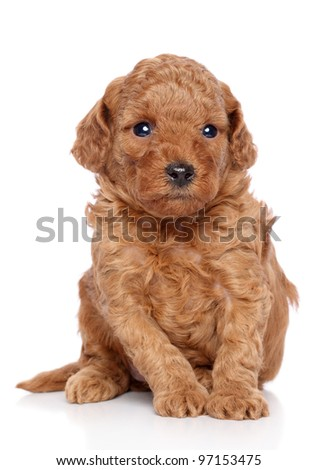 Toy poodle puppy sits on a white background - stock photo