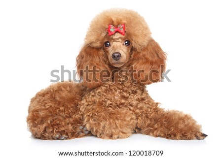 Toy poodle puppy with red bow lying on a white background - stock photo
