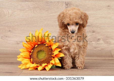 Toy poodle puppy with sunflower on wooden background - stock photo