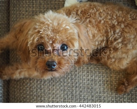 Toy poodle sitting on the sofa