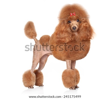 Toy Poodle with red bow posing on a white background - stock photo