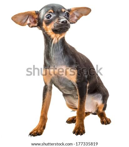 Toy terrier - stock photo