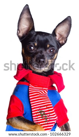 Toy terrier dog. Portrait on a white background - stock photo
