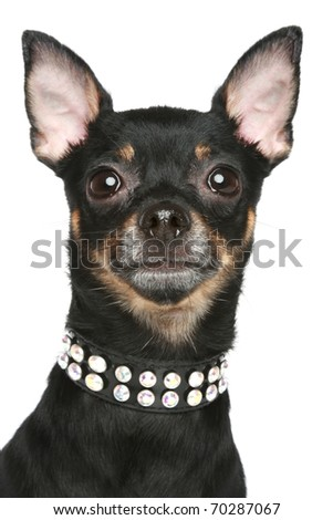 Toy terrier dog with collar. Portrait on a white background - stock photo