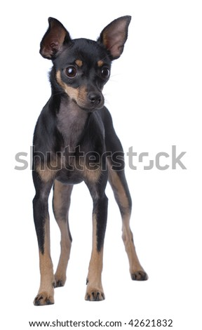 Toy Terrier isolated on white