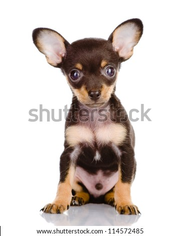 Toy Terrier. isolated on white background - stock photo