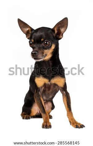 toy terrier mini