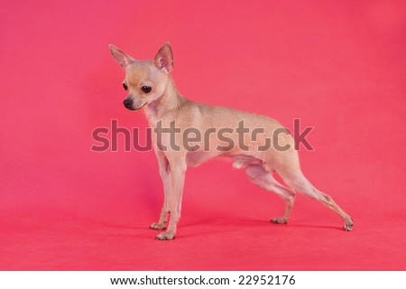 toy terrier  on red background