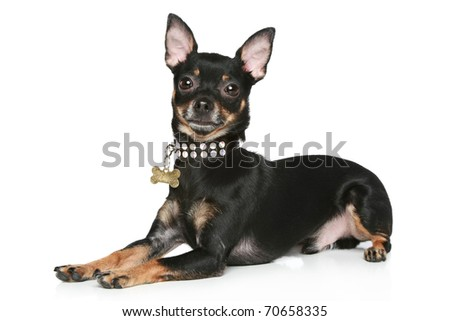Toy terrier puppy lying on a white background - stock photo