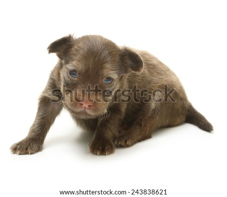 Toy terrier puppy, two weeks old isolated on a white background. - stock photo