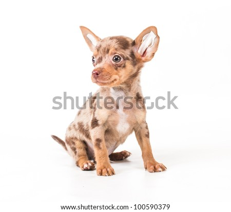 Toy Terrier sits on a white background - stock photo