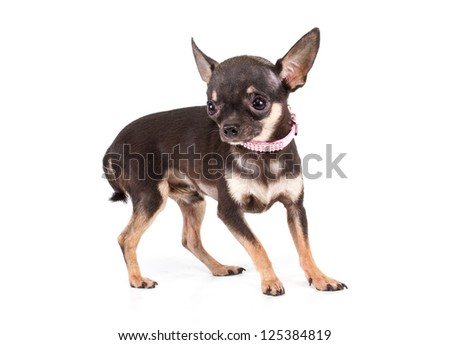 Toy Terrier sits on a white background