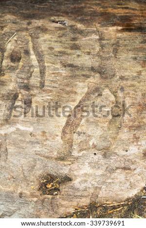 Trace after Aspen zebra beetle, Xylotrechus rusticus larva on wood - stock photo