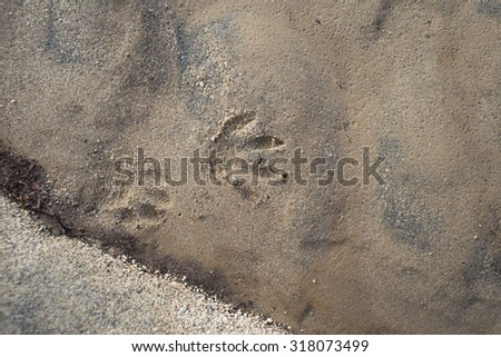 Trace of an animal's track faintly imprinted in the sand of a stream bed. - stock photo