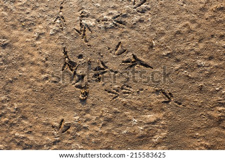 Traces of a bird on sand - stock photo