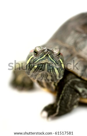 Trachemys scripta. Red-eared slider isolated on a white background. - stock photo